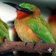 Red-throated bee-eaters are one of the 22 bee-eater species in the Meropidae family.