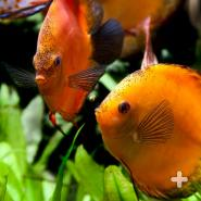 Orange discus fish