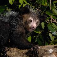 the characteristics of the aye aye an endangered species There are a couple of characteristics relating to the body of the aye-aye lemur that are very different from other species first, they have a very long middle finger that extends several inches beyond that of their others.