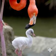 American flamingo parent with chick on mud nest