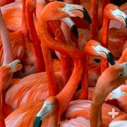 Large flock of Caribbean flamingos