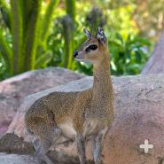 Adult klipspringer