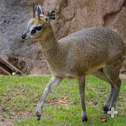 Klipspringer mom and calf