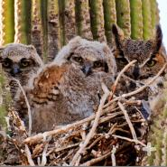 An owl family nested in a saguaro