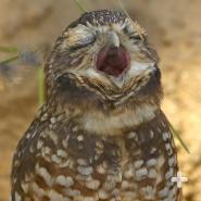 Burrowing owls communicate with a clucking or chattering call. They hiss when alarmed.
