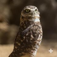 About the height of a ruler, the burrowing owl surveys the land for food and predators.