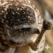 Burrowing owls are active by day and rear their chicks in an underground burrow.