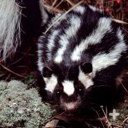 Eastern spotted skunks have more stripes than striped skunks, ironically.