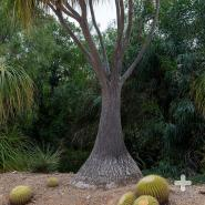 The ponytail palm tree's distinctive bulbous base, or caudex, inspired this tree's other common name: the elephant foot tree.