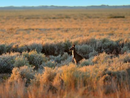 Australian outback landscape with a lone kangaroo