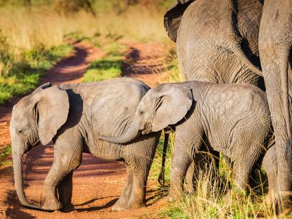 African bush Elephant calves in Serengeti N.P. - Tanzania