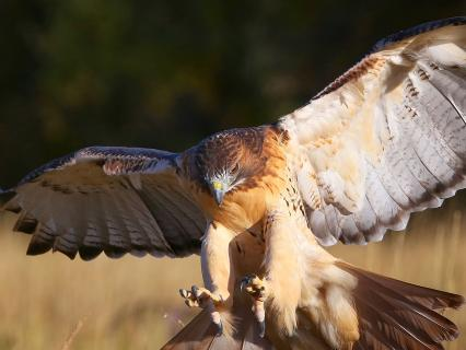 Red-tailed hawk landing