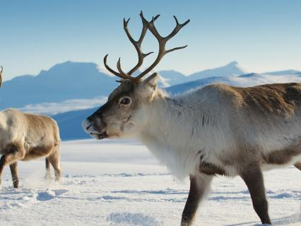 Reindeer in Tromso region, Northern Norway
