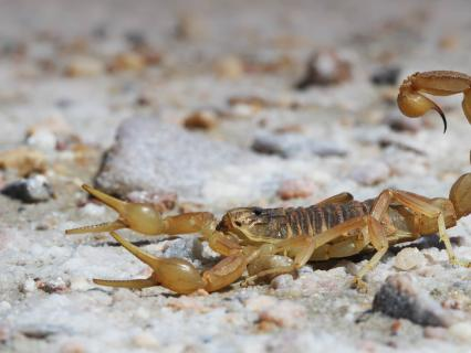 Scorpion in the Spanish desert