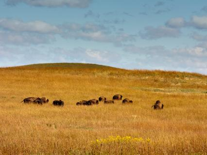 American bison on the prairie