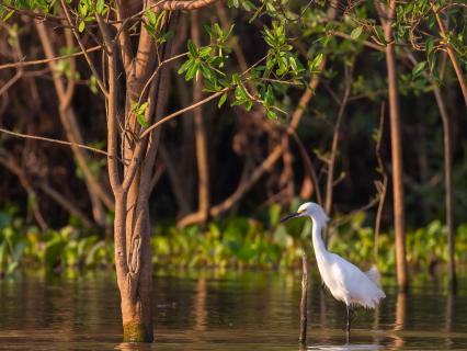 Egret in Florida Everglades