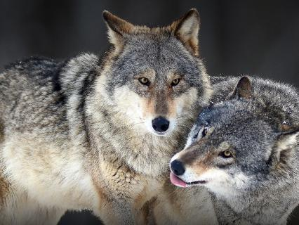 Gray wolves Canis lupus