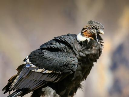 Andean Condor sitting at Mirador Cruz del Condor