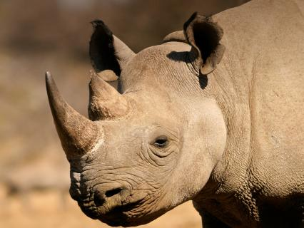 Black rhino on the Serengeti