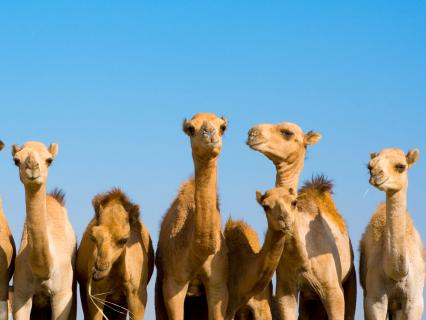 Eight young bactrian camels lined up in a row facing the viewer