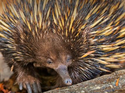 Short-Beaked Echidna foraging for food in Australia