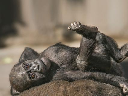 Baby Joanne the gorilla lounges on her mother's back