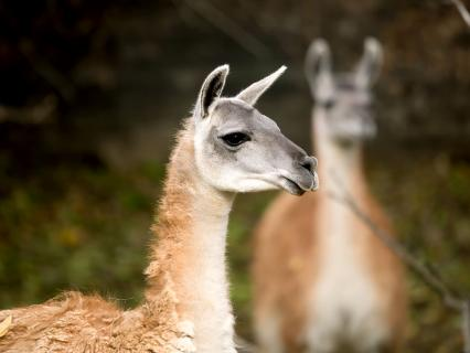 A pair of guanacos from Argentina