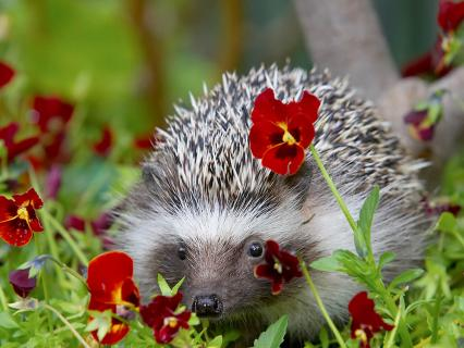 European hedgehog hides behind red pansy flower that it has nibbled on