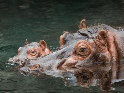 East African Hippo mother and baby half submerged in water