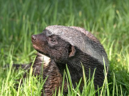 A young honey badger looks to the left as he sits in tall blades of grass.
