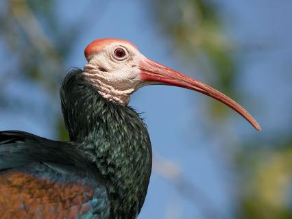 A Bald ibis shows off its long curved beak in profile