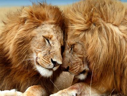 Lion brothers nuzzle one another on the grasslands of Masai Mara, Kenya