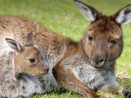 Kangaroo joey peeks out of its mother's much as mother lounges on grass
