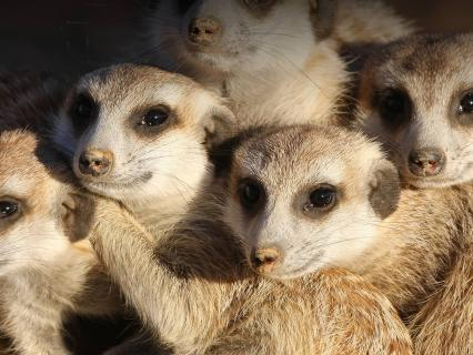 A group of meerkats huddled together