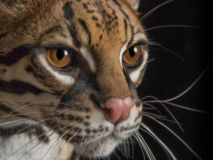 Closeup of an ocelot's face as it looks right