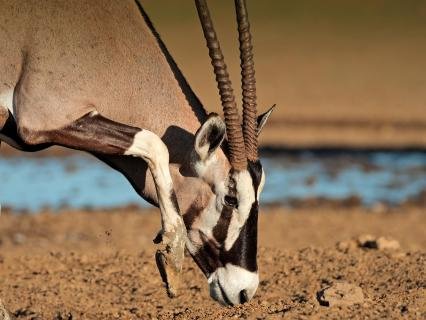 Gemsbok oryx with head lowered