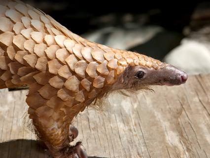 A tree pangolin looks to the right while standing on a wood plank