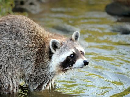 Raccoon wading into water