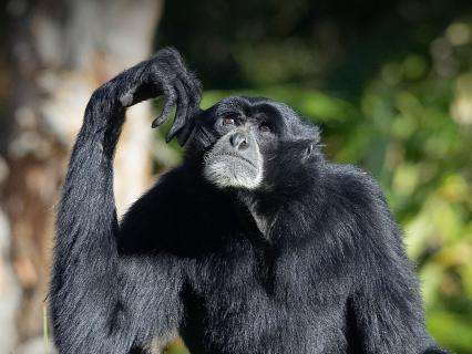 Siamang looks up tot he sky while touching his left ear with his hand, absentmindedly