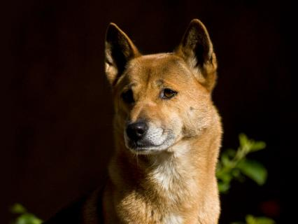 New Guinea singing dog looks off to the left as his background is darkened by midday shadows