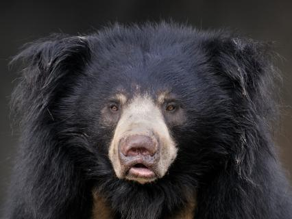 Closeup of a sloth bear's face straight on