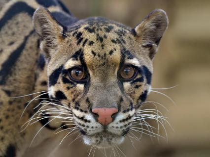 A clouded leopard looks straight on at the camera