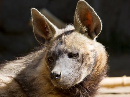 A striped hyena looks slightly to the left as is suns itself in front of its den