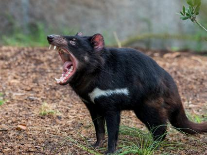 A Tasmanian devil opens its mouth wide to let out a growl