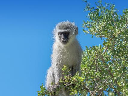 Vervant Monkey in Tree