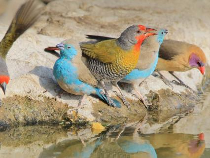 Colorful waxbills drinking at water's edge, Africa