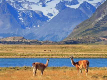 A pair of guanaco grazing in a yellow field in front of a blue lake and snow-capped mountains of Patagonia
