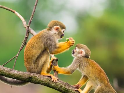 Squirrel monkeys eating fruit while sitting on a tree branch in a jungle