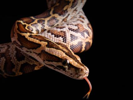 Burmeses python on black background
