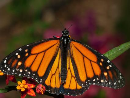 Monarch butterfly resting on green leaf